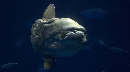 Mola Mola in the Monterey Bay Aquarium; this specimen was at least ten to fifteen feed long. (Photo by yours truly.)